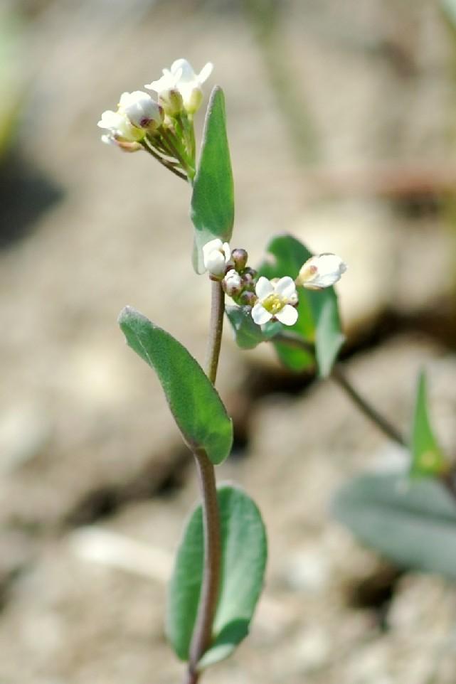 Thlaspi perfoliatum subsp. perfoliatum 2