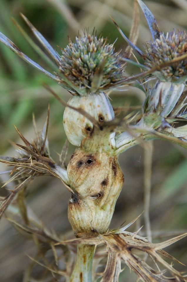 Thomasiella eryngii - Diptera, Cecidomyiidae