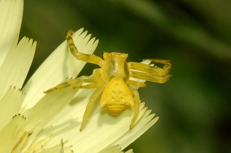 Thomisus onustus - Thomisidae