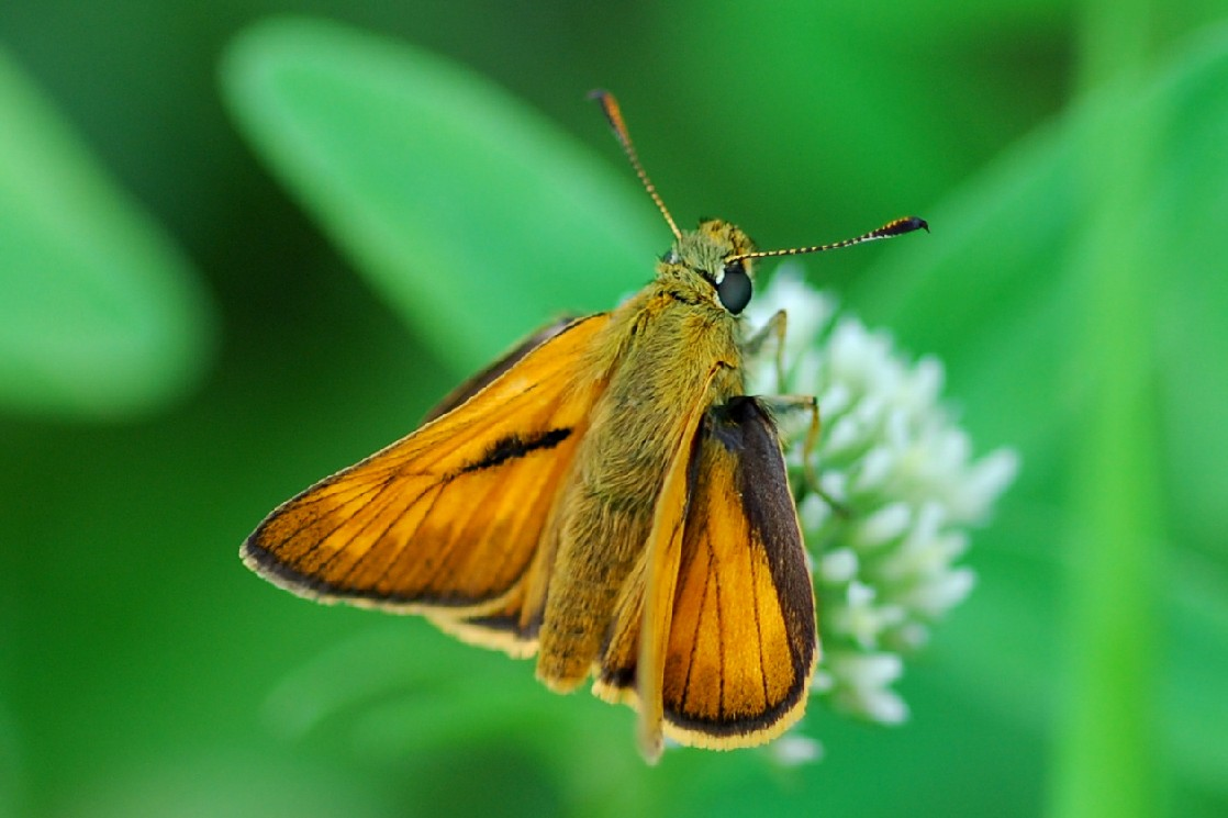 Thymelicus sp. - Hesperidae