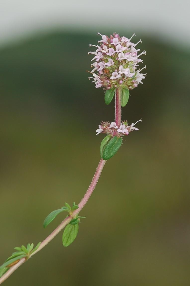Thymus sp. 10