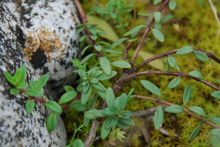 Thymus sp. 12