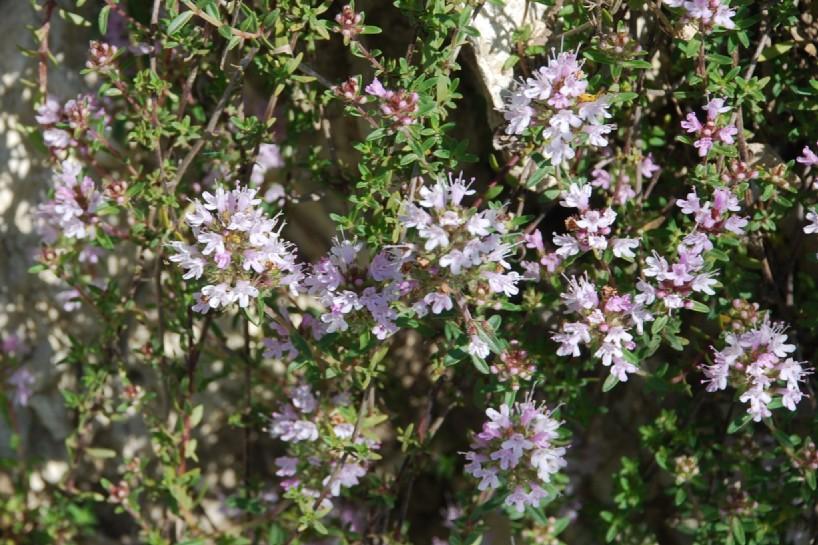 Thymus sp. 15