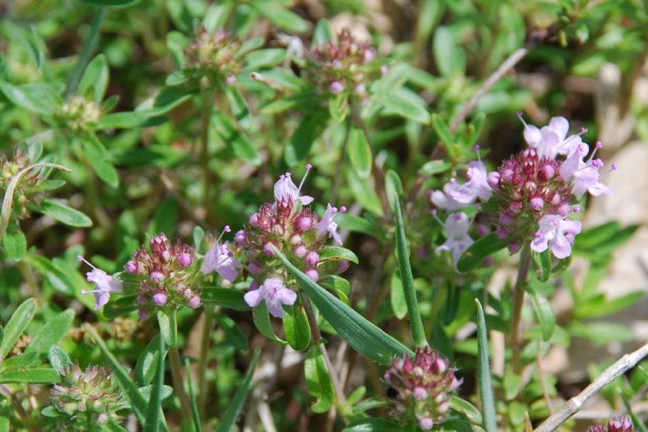 Thymus sp. 17