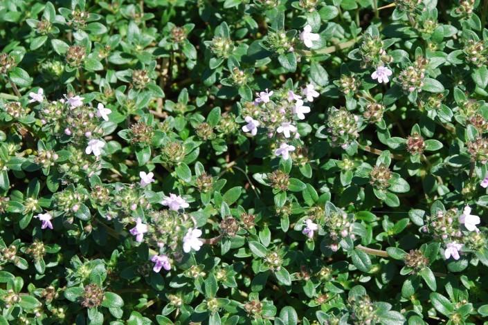 Thymus sp. 18