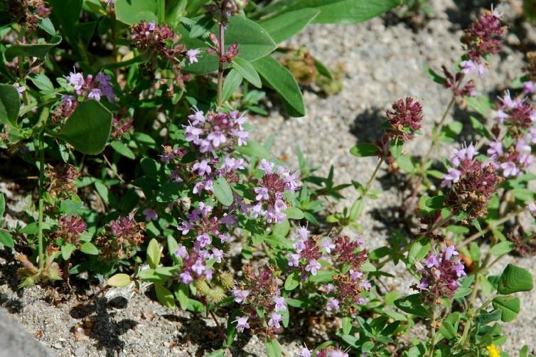 Thymus sp. 19