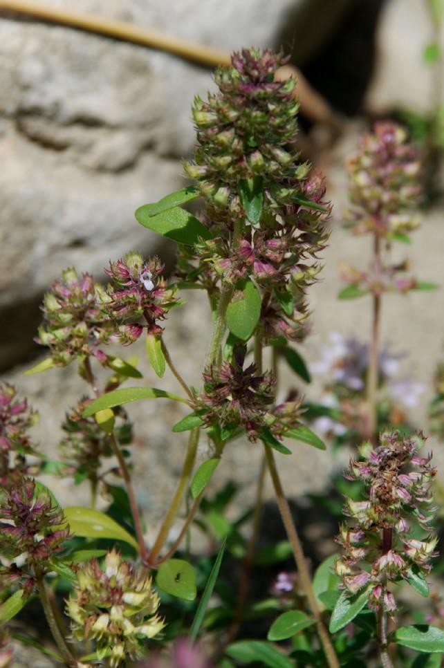 Thymus sp. 20