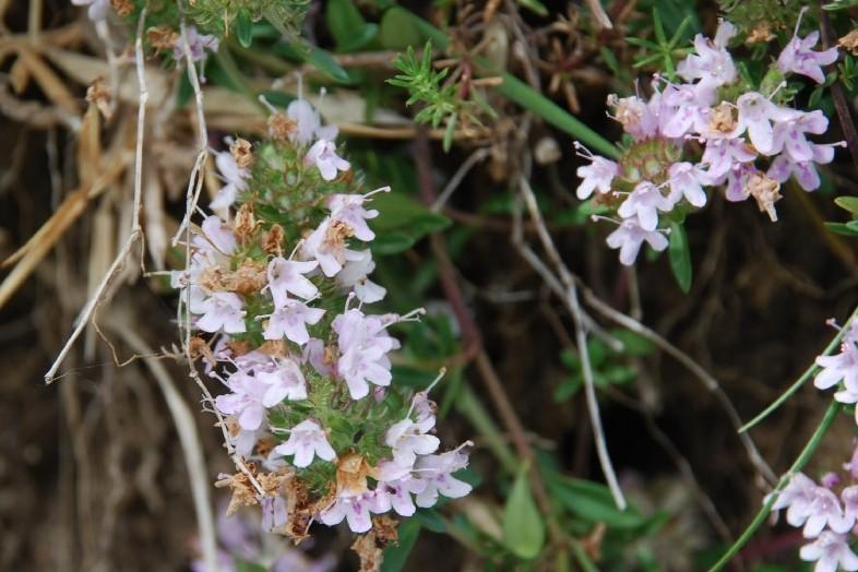 Thymus sp. 21