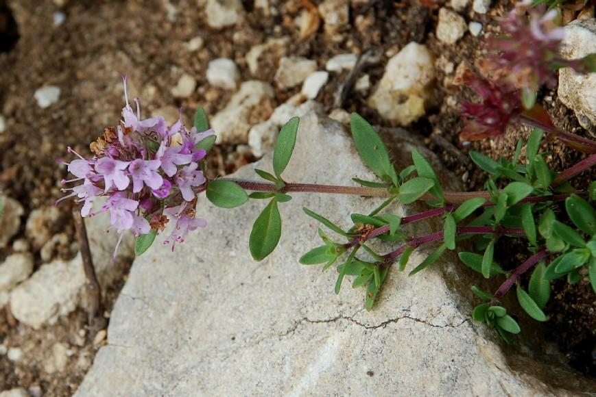 Thymus sp. 22