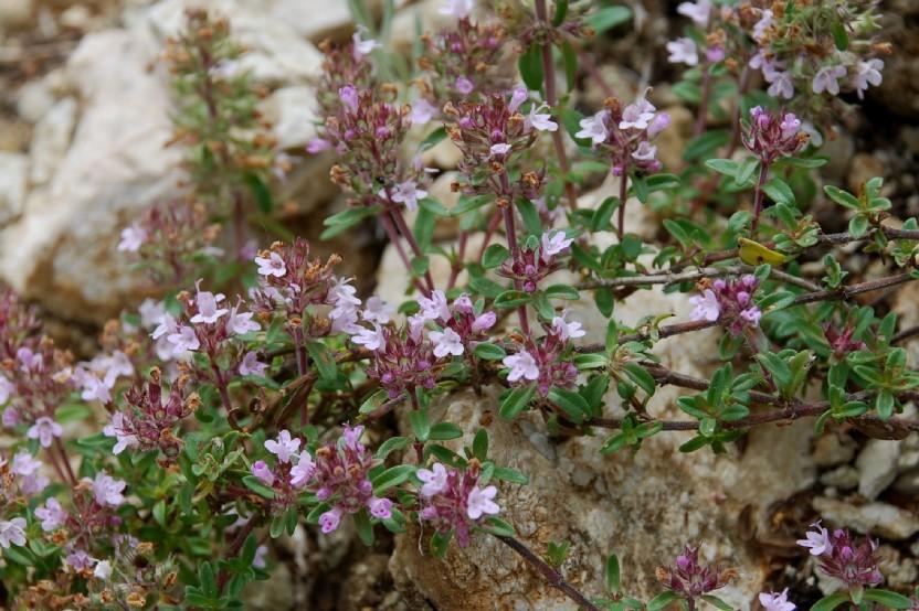 Thymus sp. 23