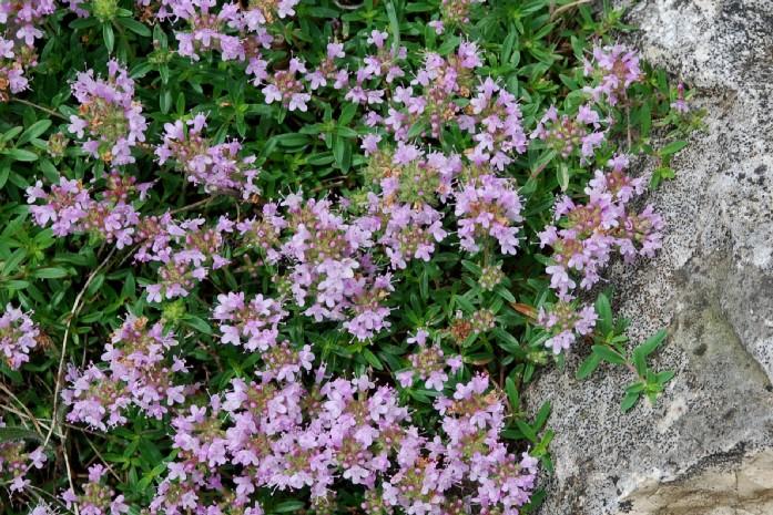 Thymus sp. 24