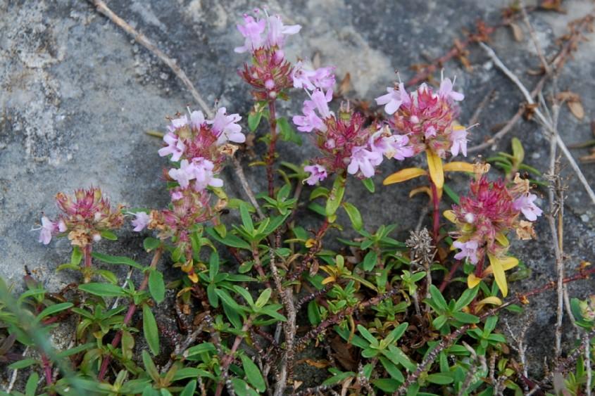 Thymus sp. 25