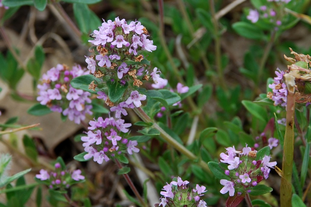 Thymus sp. 26