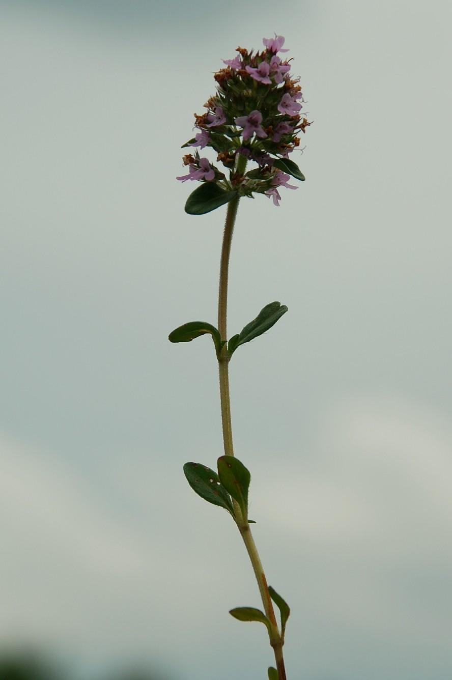 Thymus sp. 27