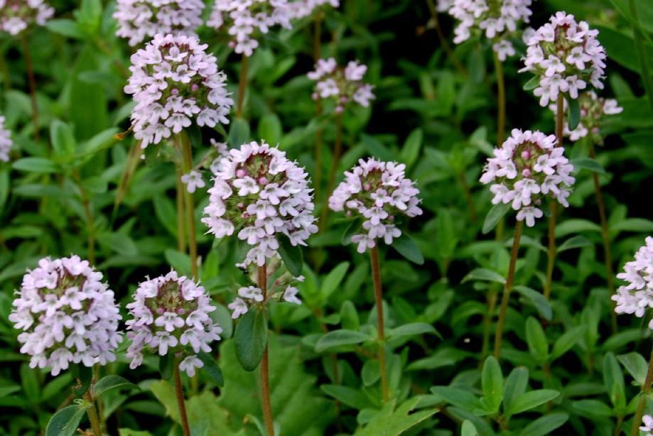 Thymus sp. 3