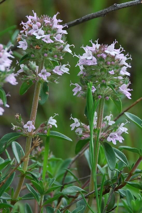 Thymus sp. 5