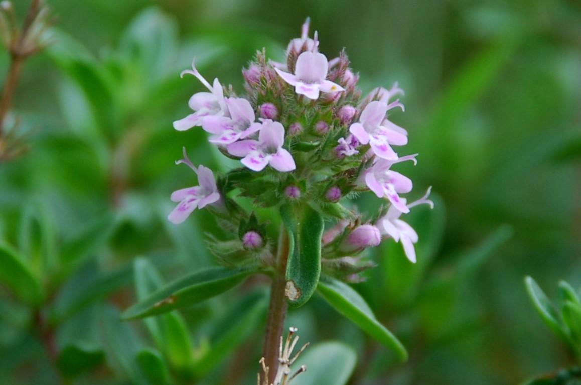 Thymus sp. 6
