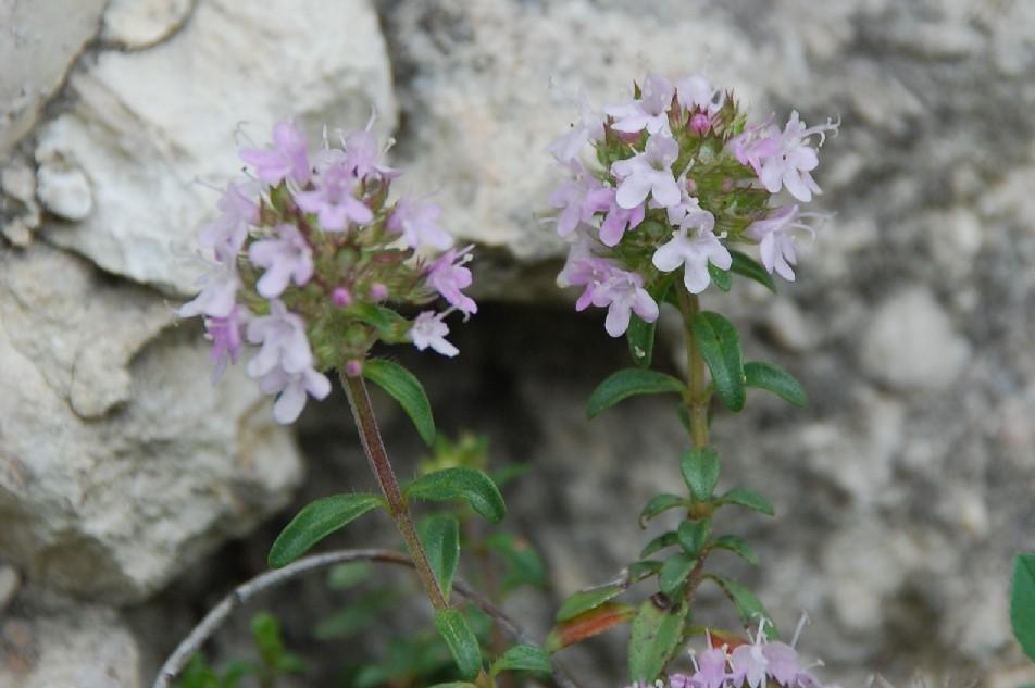 Thymus sp. 8