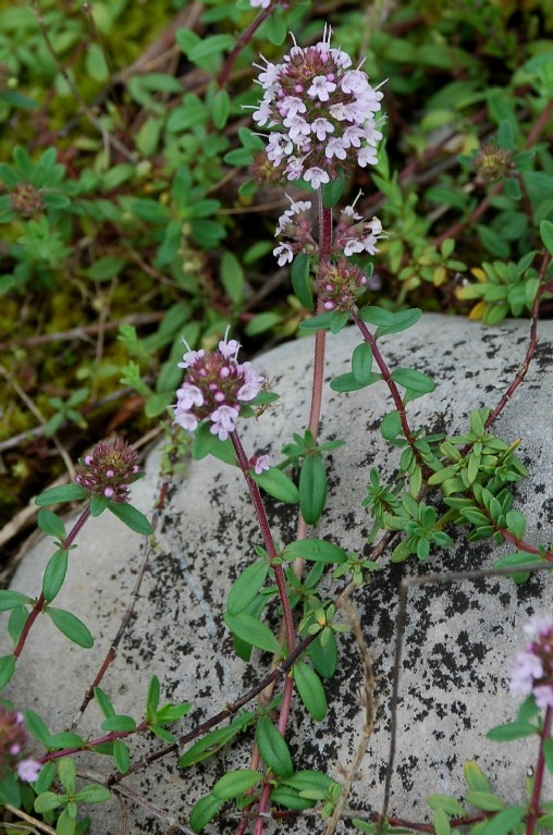 Thymus sp. 9