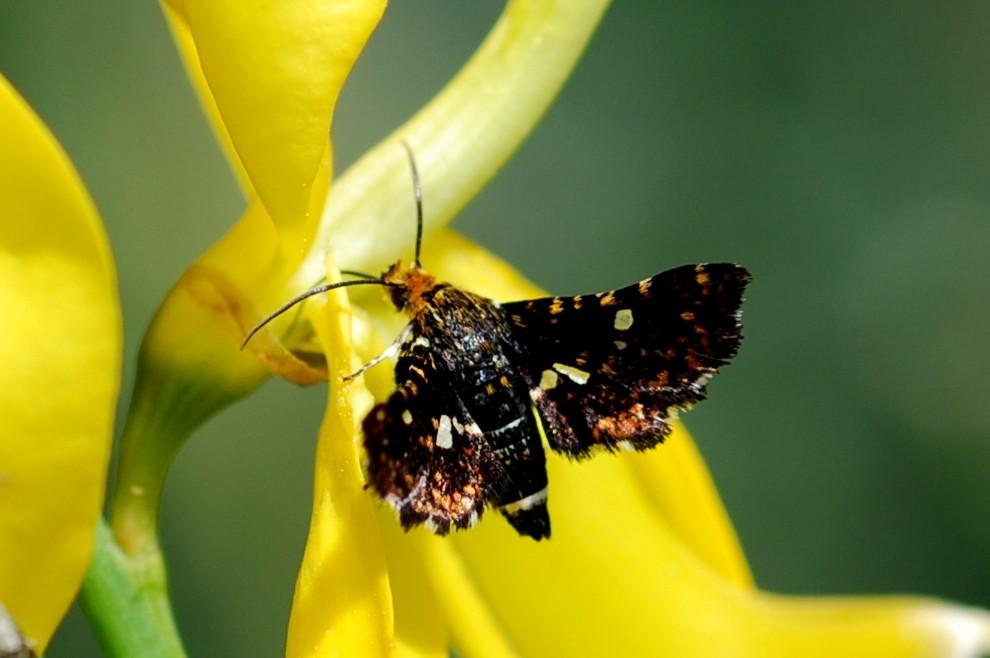 Thyris fenestrella - Thyrididae
