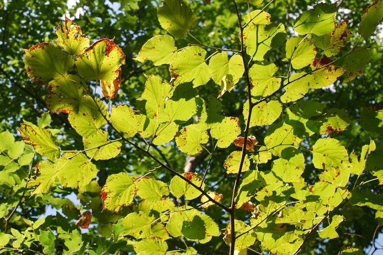 Tilia plathyphyllos subsp. plathyphyllos 11