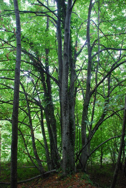 Tilia plathyphyllos subsp. plathyphyllos 2