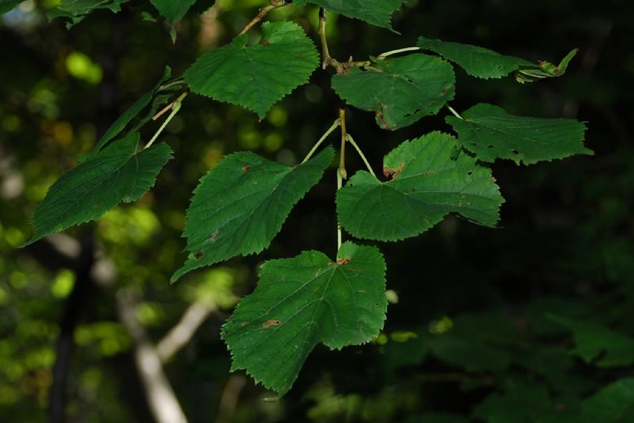 Tilia plathyphyllos subsp. plathyphyllos 4