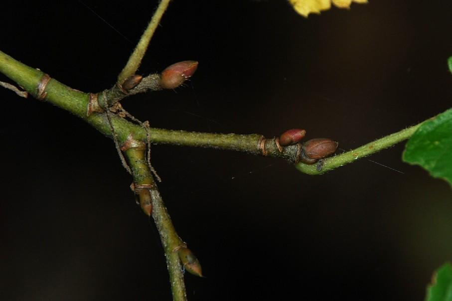 Tilia plathyphyllos subsp. plathyphyllos 5