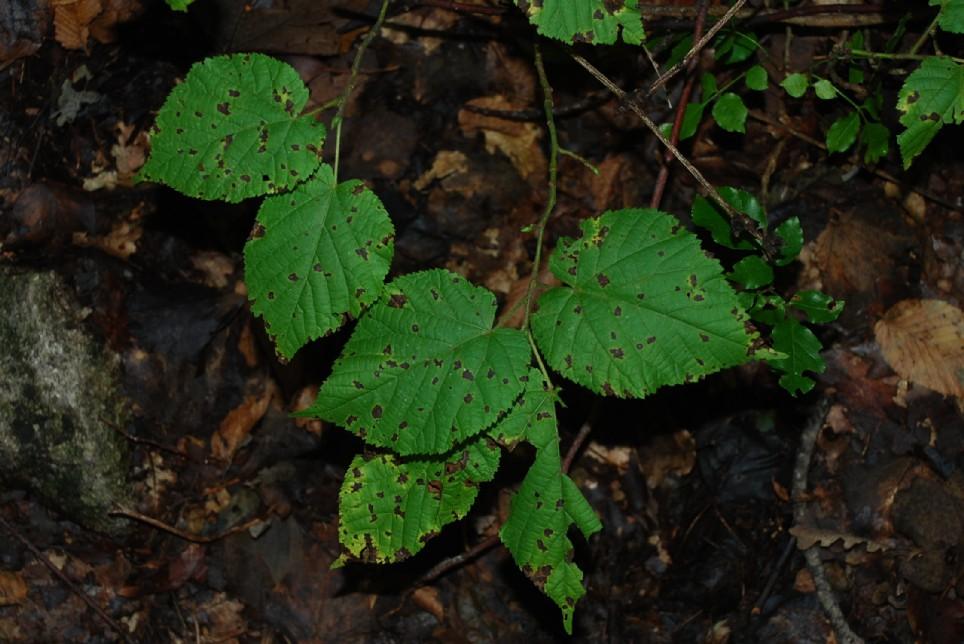 Tilia plathyphyllos subsp. plathyphyllos 6