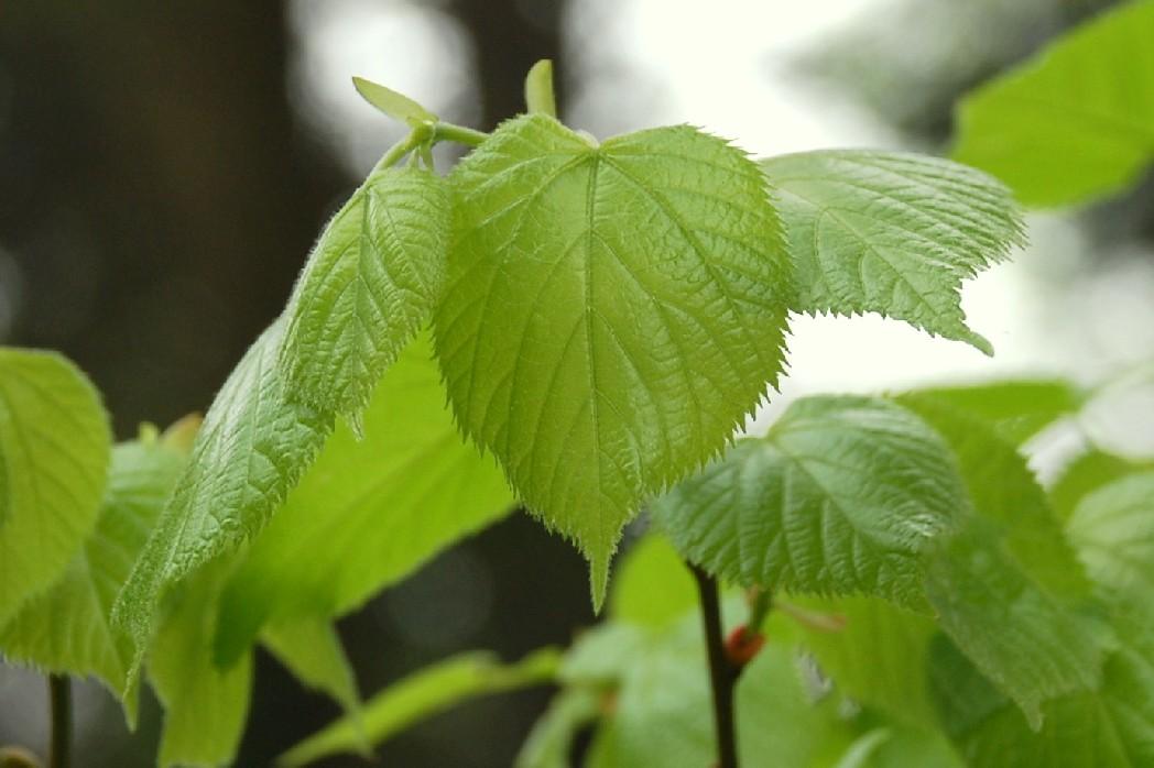 Tilia plathyphyllos subsp. plathyphyllos 9