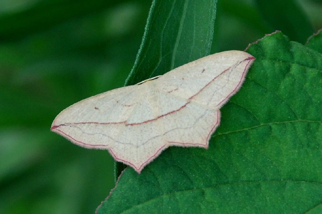 Timandra comae - Geometridae