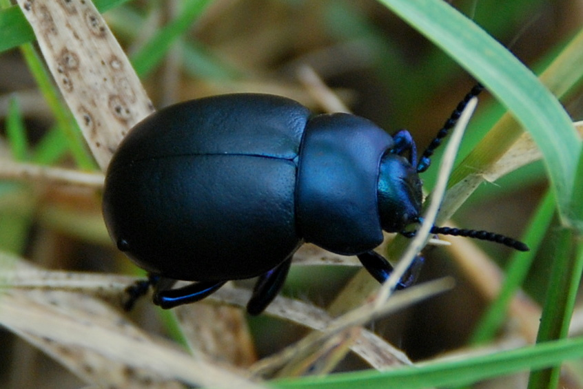 Timarcha sp. - Chrysomelidae
