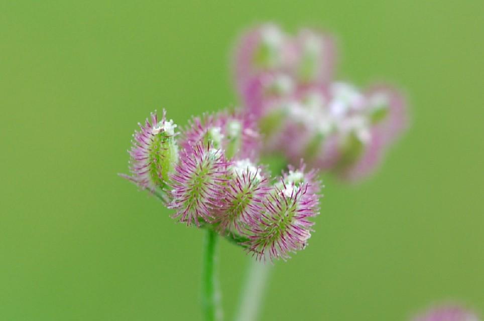 Torilis arvensis subsp. purpurea