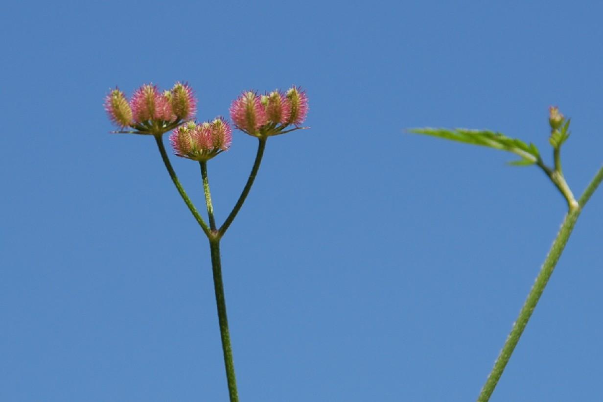 Torilis arvensis subsp. purpurea 4Torilis arvensis subsp. purpurea 4