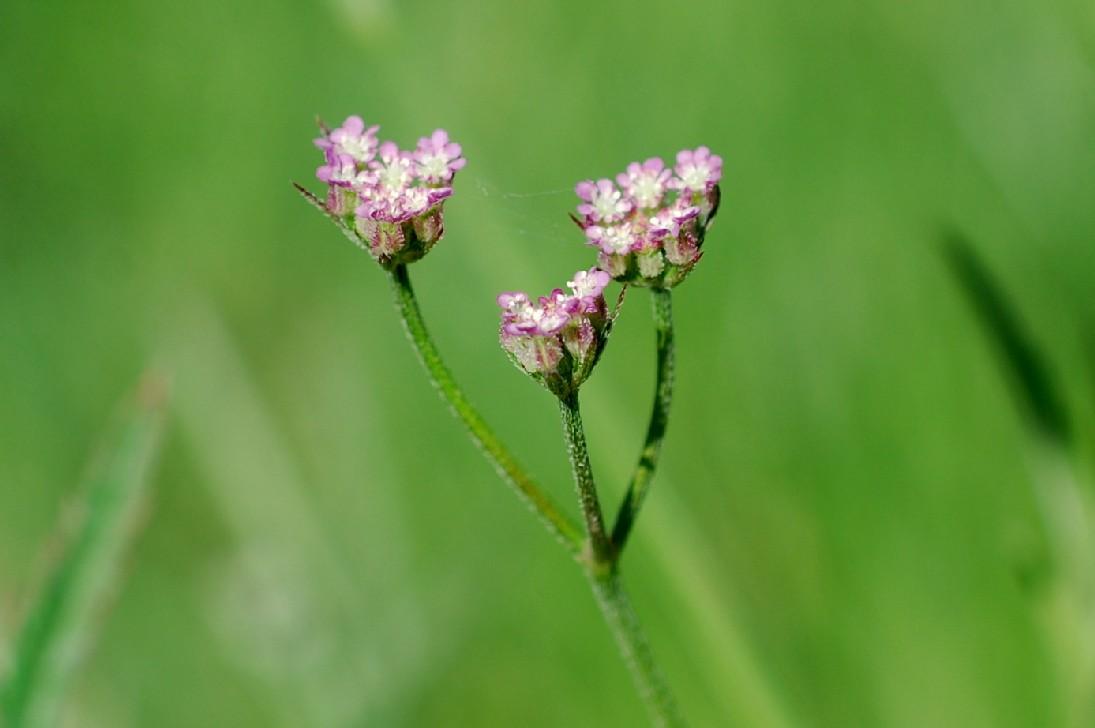 Torilis arvensis subsp. purpurea 7