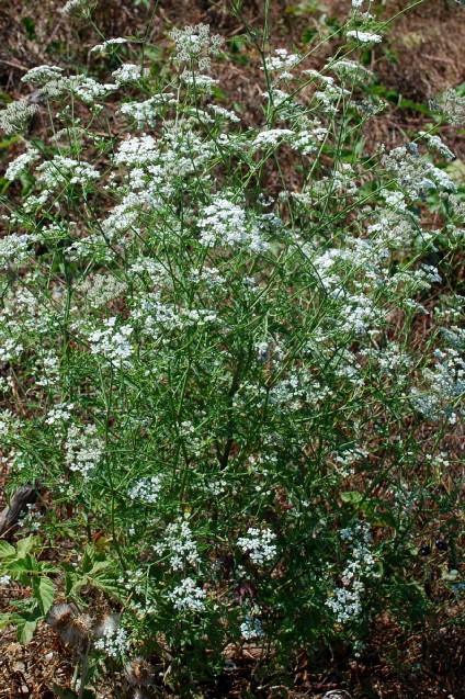 Torilis arvensis subsp. recta 11