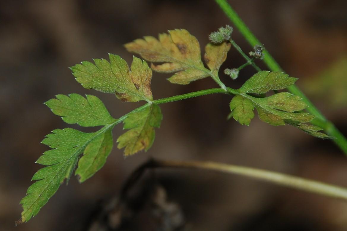 Torilis japonica 10