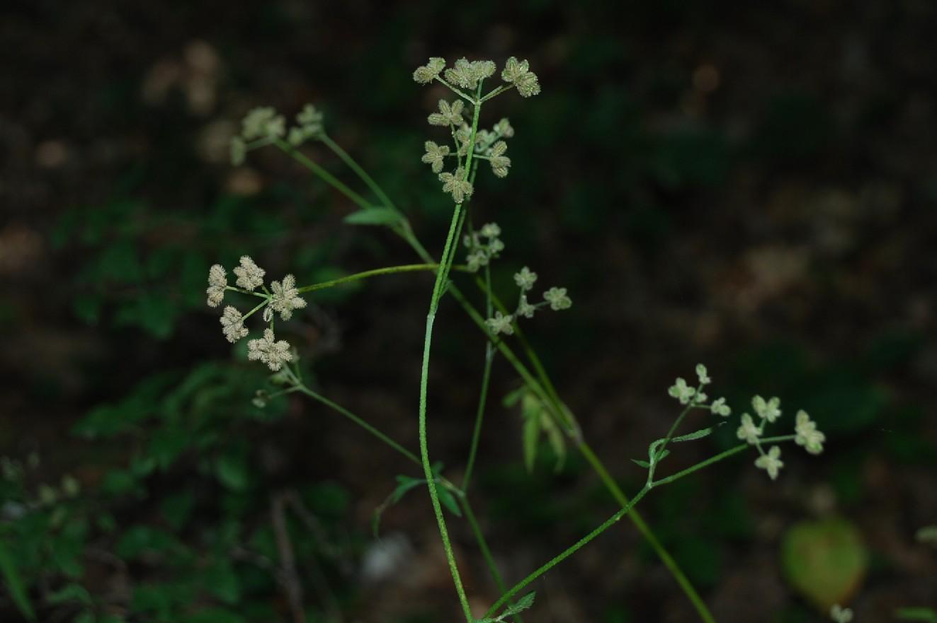 Torilis japonica 12