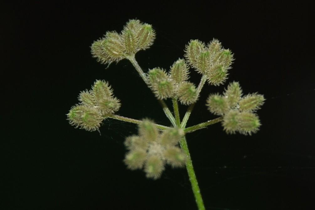 Torilis japonica 15
