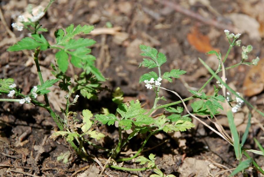 Torilis japonica 3