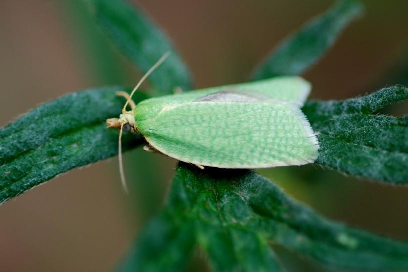 Tortrix viridana - Tortricidae