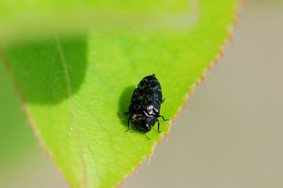 Trachys minutus - Buprestidae