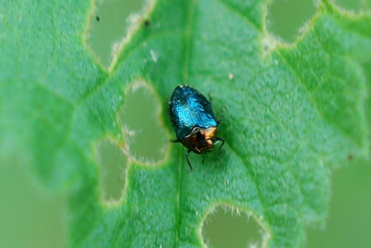 Trachys troglodytes - Buprestidae