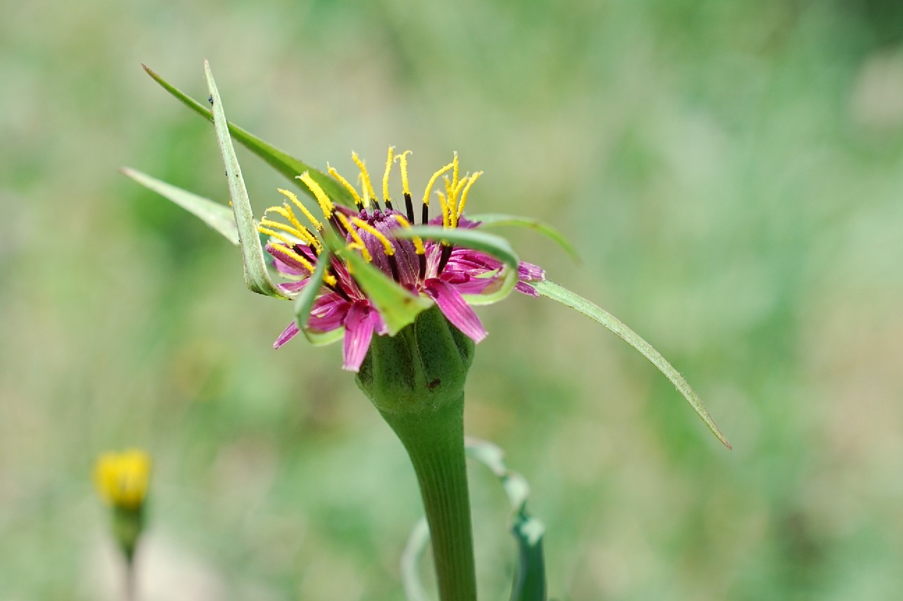 Tragopogon porrifolius subsp. australis 7
