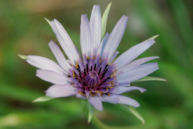 Tragopogon porrifolius subsp. porrifolius 10