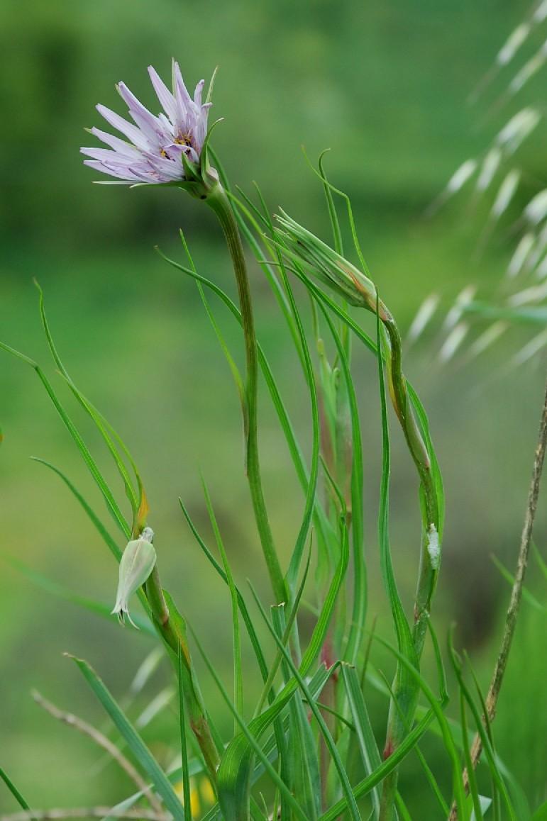 Tragopogon porrifolius subsp. porrifolius 13