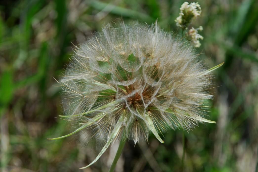 Tragopogon porrifolius subsp. porrifolius 15