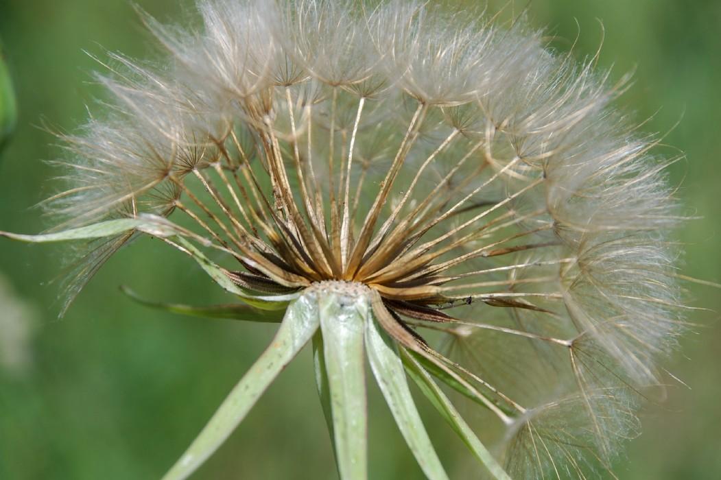 Tragopogon porrifolius subsp. porrifolius 16
