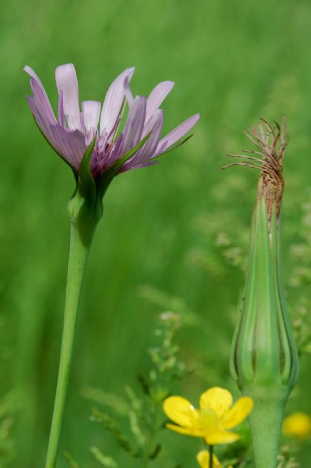 Tragopogon porrifolius subsp. porrifolius 18