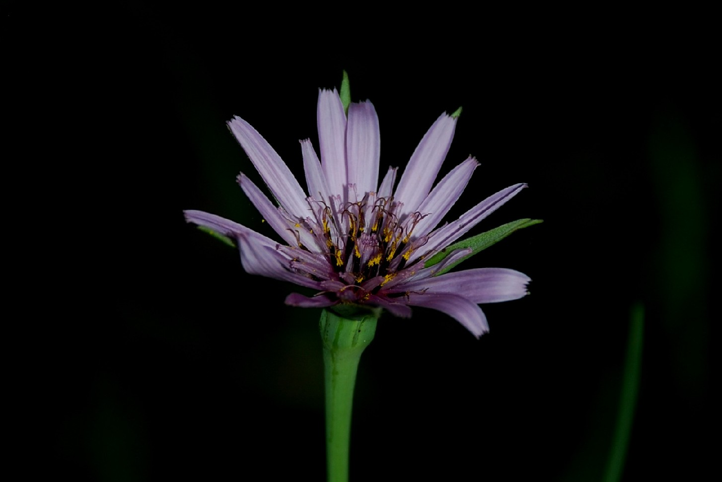 Tragopogon porrifolius subsp. porrifolius 24